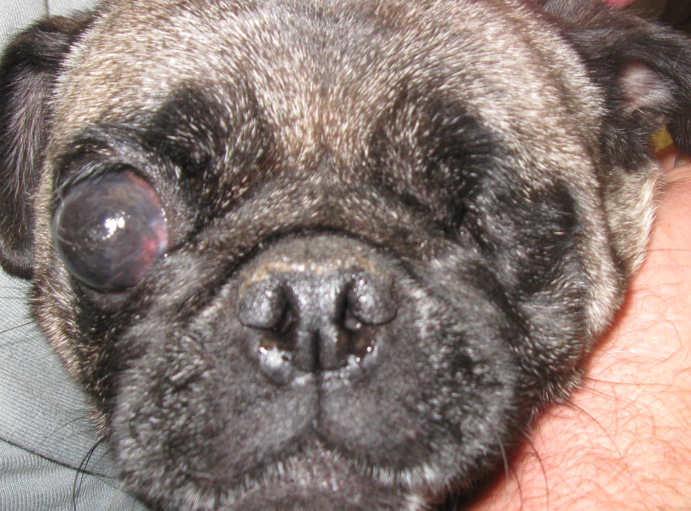 Midwest Pug Rescue Mn Division Mn Mpr Mill Pugs
