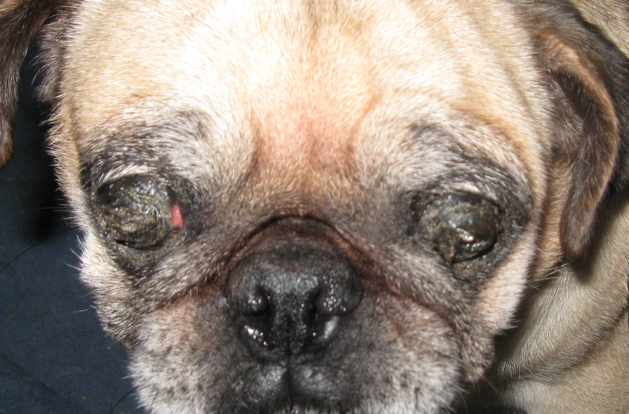 How to Diagnose Eye Problems in Pugs recommend