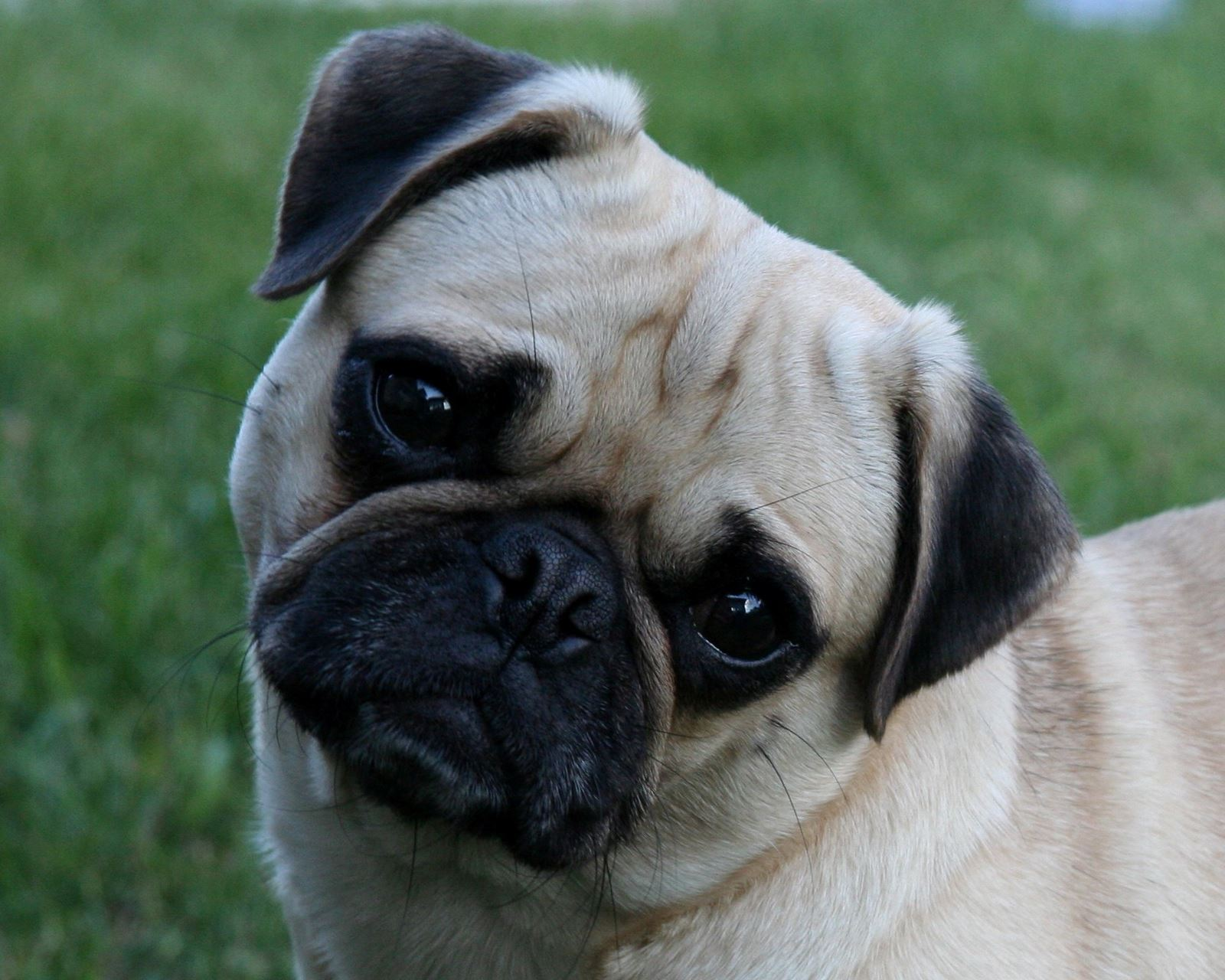 Midwest Pug Rescue ~ MN Division - HOME