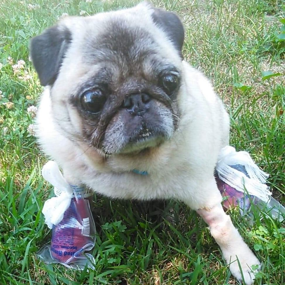 pug rescues midwest pug rescue mn division home 5415